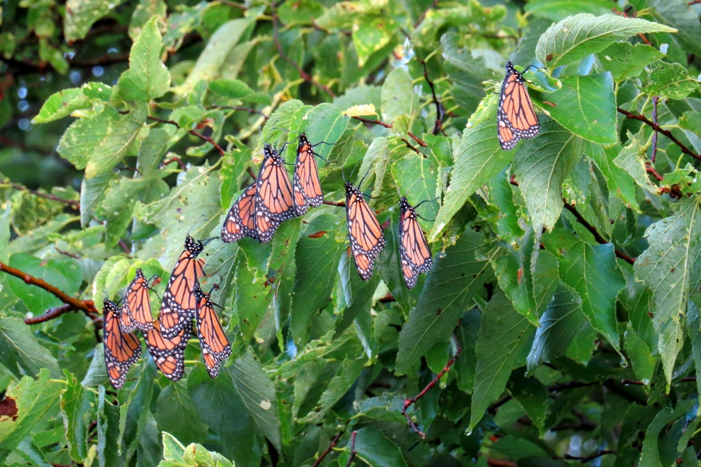 The Butterfly Tree - ID: 15642408 © Carolyn  M Fletcher